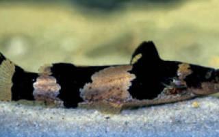 Сом Шмель (Bumblebee Catfish)