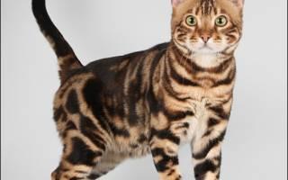 Бенгальские кошки: ручные леопарды